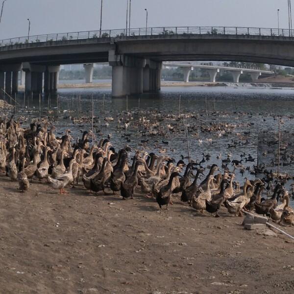 来自成友林发布的供应信息:鸭场直供新鲜鸭蛋... - 百崎湖蛋鸭场